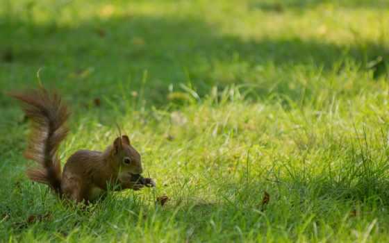 белки, трава, орех, траве, белки, playful, tail,