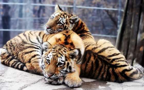 тигры, тигр, красивые