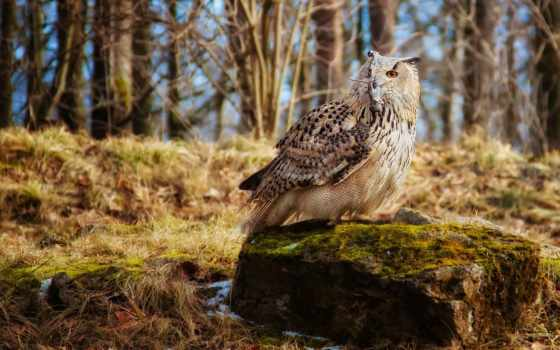 сова, красивые, птицы, высокого, разрешения, хищник, administrator, качество, птица, совы,