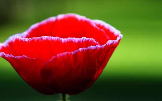 цветы, растение, розовый, лепестки