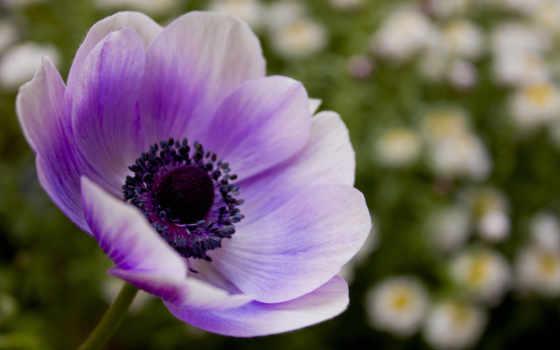 фиолетовый, цветы, сиреневый