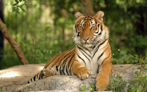 тигр, мои, любимые