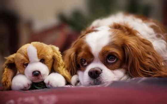 собака, похожие, vzglyad, kartinka, игрушка, щенок, мордочка, собаки,