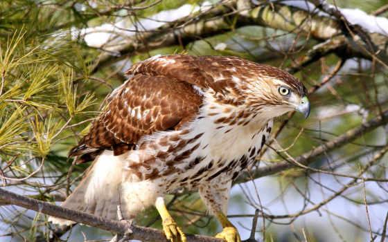 hawk, red, tailed, buzzard, лес, птица, branch, природа, birds,