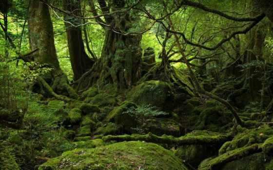 лес, яndex, мхом, дремучий, старый, covered, jungle, дуб, большой,