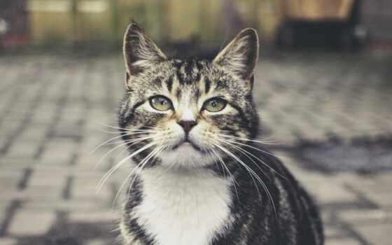 кот, серый, striped, фон, размытость, взгляд, youtube, канал, cute, permission