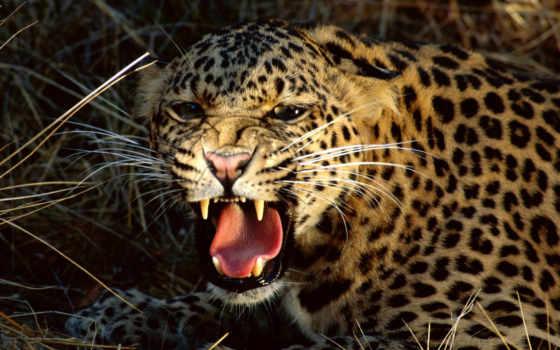 кошки, дикие, хищные, домашние, тигр, собаки, кошка, количество, насекомые, zhivotnye, mir,