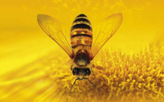мед, пчелка, насекомые