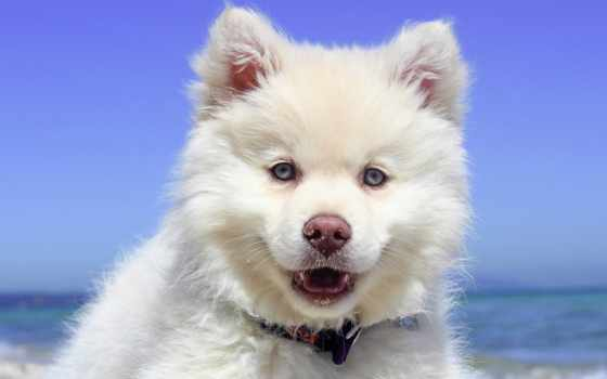 shiba, retriever, золотистый, собака, animal, ми,