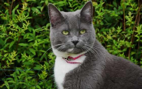 кот, chartreu