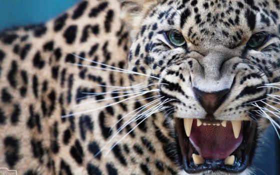 леопард, ухмылка, хищник