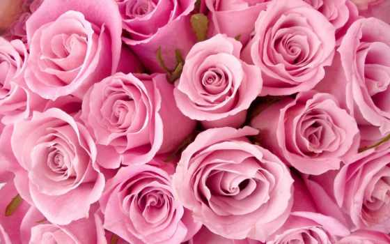 розы, розовые, цветы