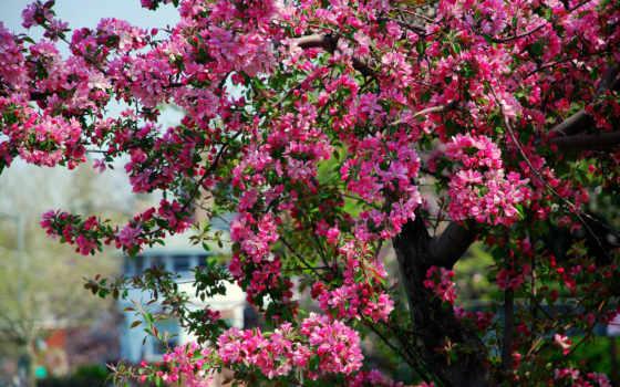 весна, цветение, яблоня, розовые, дерево, cvety, цветки, красивые,