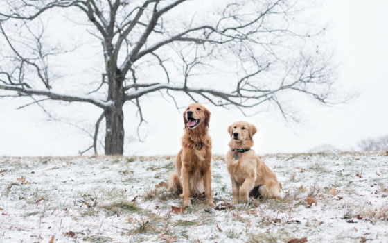 собаки, две, снегу, овчарка, собак, снег, год, гороскоп,