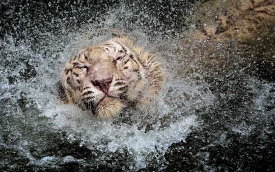 тигр, water, splash