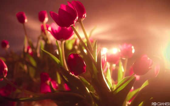 tulipanes, pantalla, flores