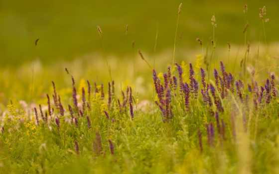 сиреневые, полевые, cvety, травинки, размытие, поле, трава, тег, всех, которых,