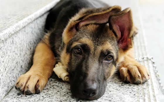 собак, овчарка, клички, немецкая, собаки, овчарки, немецкой, овчарок, зооклубе, зооклуб,