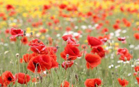 cvety, природа, маки, красные, поле, лепестки, бутоны,
