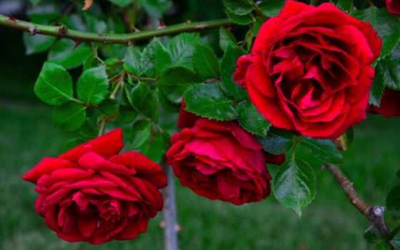 cvety, листва, branch, роза, thorn, мо, roses, еще