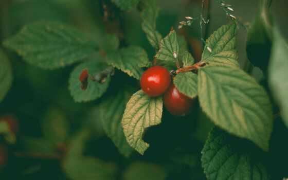 cherry, ipad, ягода, цветы, дерево, плод, растение, заставка, айфон, спелый