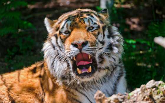 тигр, амурский