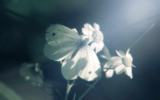 butterfly, white, наслаждается, природа, изображение, flowers, traumerwalls, part, картинок, picsfab, фабрика,