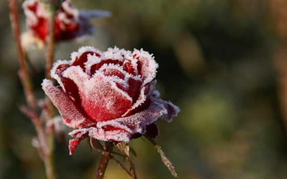 широкоформатные, роза, иней