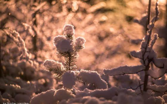 хвоя, иголки, снег