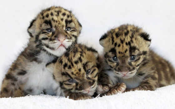 леопард, детеныши, кот,