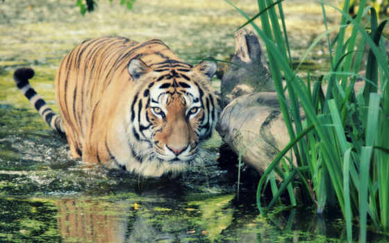 wild, тигр, documentary