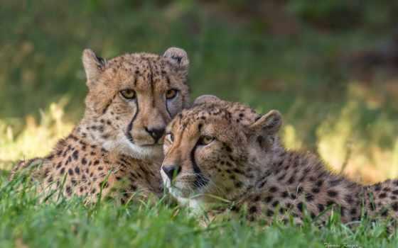 zhivotnye, гепарды, animals, изображение, два, страница, кошки, большие, картинка,