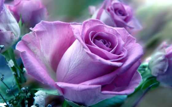розы, цветы, роза