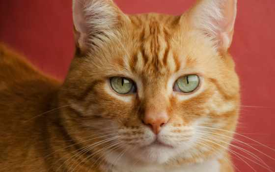 кот, red, взгляд, красавец, котенок, animal,