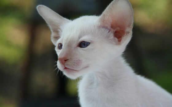 кошка, siamskii, gato, разведение, бизнес, fofo, фотография, gatinhos, porodistyi, смартфон