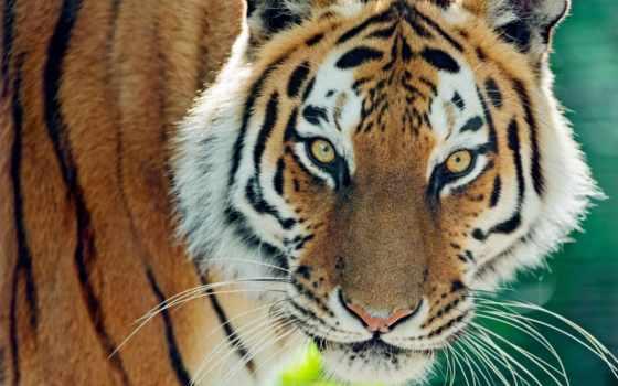 portrait, looking, тигры, tiger, canvas, jambo,