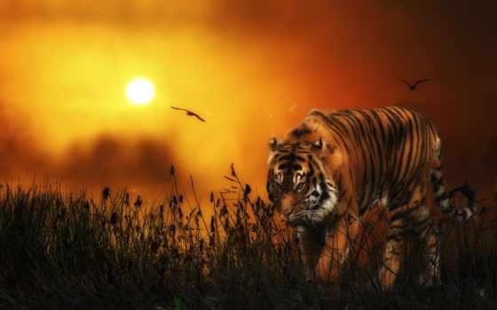 тигр, страница, desktop, самые, удивительные, sun,