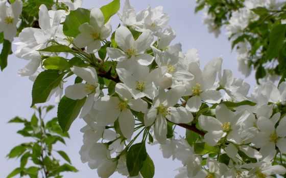 природа, кусты, цветение, весна, top, цветет, flowers, яблони,