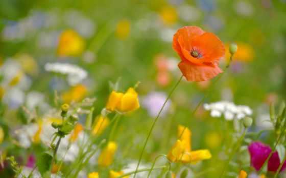 cvety, маки, poppy, макро, природа, колосья, загрузок, поле, эшшольция, луг,
