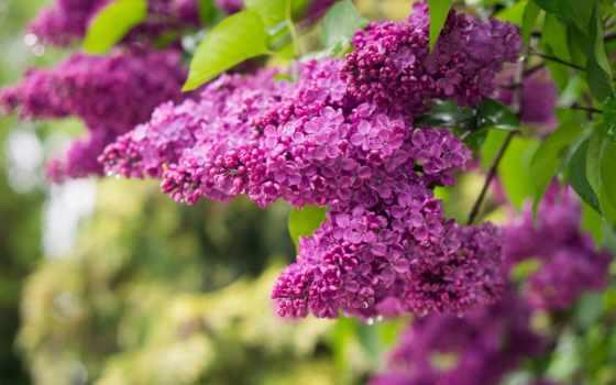 сиреневый, branch, cvety, кисточка, весна, красивые,