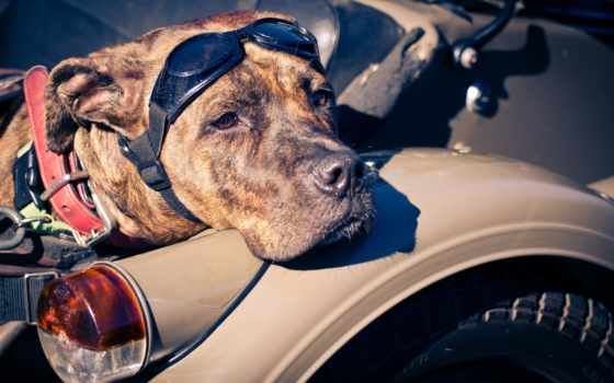 собака, взгляд, широкоформатные, очки, морда, мотоцикл, щенок, коляска, biker,