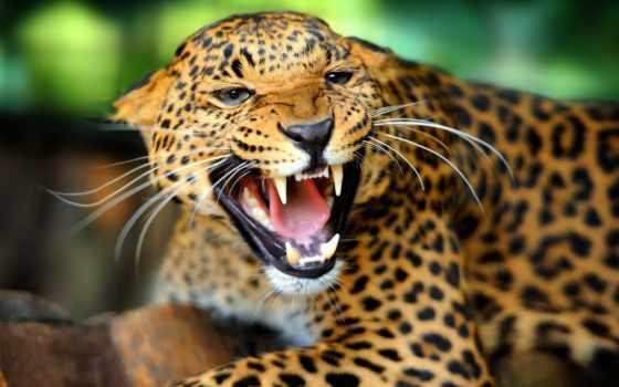 южной, америки, jaguar