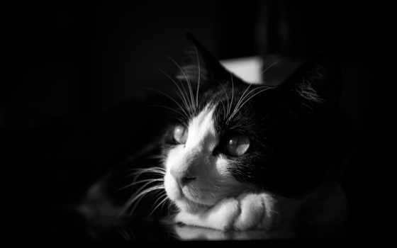 кот, чёрно, белая, лежит, разных, лежа, кошки, белые,