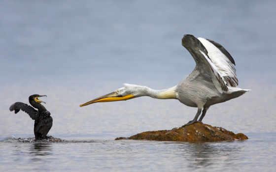 pelican, поло, images, коллекция, фото, dalmatian, marco, humour, guides,
