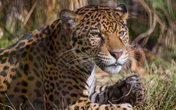 дикая, морда, кот, jaguar, kostenlose, für, телефон, животные, hintergrundbilder, категории, desktop, foto,