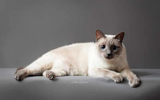 кот, thai, тайская