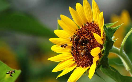 пчелы, подсолнух, опыление, макро, пчелка, лепестки, насекомые, цветы,