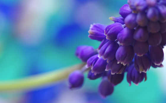 цветы, мускари, взгляд, color, blue, flowers, природа, весна,