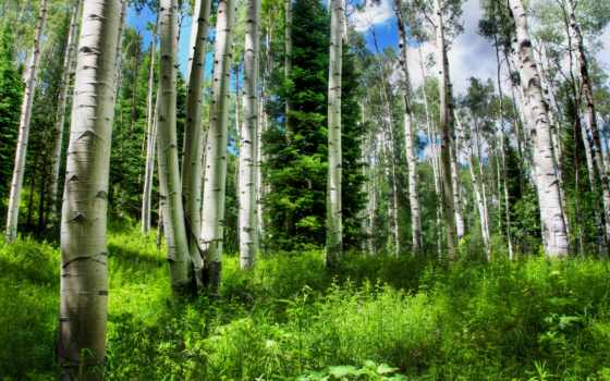 природа, grove, summer, березовая, one, click, березовой, высококачествен, березы, лес,