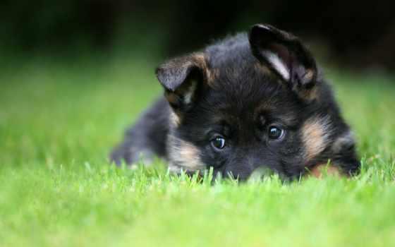 german, овчарка, puppies